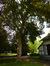 Acer pseudoplatanus 'Purpurascens' – Woluwé-Saint-Pierre, Parc Parmentier –  14 Mai 2014