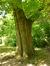 Chêne rouge d'Amérique – Woluwé-Saint-Pierre, Parc Parmentier –  20 Mai 2014
