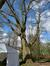 Chêne rouge d'Amérique – Woluwé-Saint-Pierre, Parc Parmentier –  13 Avril 2021