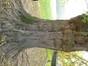 Robinier faux-acacia – Woluwé-Saint-Pierre, Parc Parmentier –  24 Octobre 2012