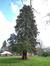 Sequoia géant – Woluwé-Saint-Pierre, Parc Parmentier –  13 Avril 2021