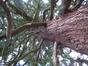 Sequoia géant – Woluwé-Saint-Pierre, Parc Parmentier, parc –  03 Août 2007