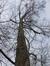 Cyprès chauve de Louisiane – Woluwé-Saint-Pierre, Berme Général San Martin, Bovenberg –  02 Février 2017