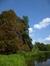 Aulne à feuilles cordées