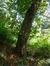 Aulne à feuilles cordées – Woluwé-Saint-Pierre, Parc de Woluwe –  16 Septembre 2014
