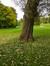 Peuplier blanc – Woluwé-Saint-Pierre, Parc de Woluwe –  08 Septembre 2014