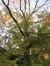 Chêne des marais – Woluwé-Saint-Pierre, Parc de Woluwe –  30 Octobre 2009