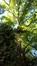 Noyer noir – Auderghem, Jardin  Massart –  04 Juillet 2019