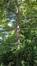 Mélèze du Japon – Auderghem, Jardin  Massart –  04 Juillet 2019