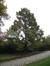 chineze sequoia