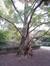 chineze sequoia – Sint-Joost-Ten-Node, Kruidtuinpark –  26 Oktober 2009
