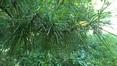 Sciadopitys verticillata – Oudergem, Massarttuin –  04 Juli 2019