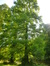 Métaséquoia – Watermael-Boitsfort, Parc du Leybeek –  06 Août 2015