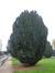 Ierse venijnboom – Anderlecht, Egide Rombauxsquare, Egide Rombauxsquare, 14 –  20 Oktober 2015