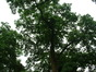 Robinier faux-acacia – Watermael-Boitsfort, Hondenberg, 4 –  23 Juillet 2002