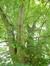 Tilleul à larges feuilles – Watermael-Boitsfort, Square de l'Arbalète –  08 Septembre 2014