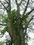 Acer platanoides f. crispum – Watermael-Boitsfort, Cités-Jardin Le Logis et Floréal, Square des Archiducs –  29 Juillet 2014