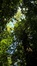 Merisier – Auderghem, Jardin  Massart –  04 Juillet 2019