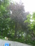 Hêtre pourpre – Schaerbeek, Square Vergote, Square Vergote –  01 Juillet 2013