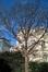 Erable sycomore – Saint-Josse-Ten-Noode, Square Henri Frick, Square Henri Frick –  21 Janvier 2016