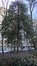 houx – Saint-Josse-Ten-Noode, Square Henri Frick, Square Henri Frick –  21 Janvier 2016