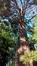 Sequoia géant – Auderghem, Jardin  Massart –  04 Juillet 2019