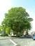 Tilleul argenté – Woluwé-Saint-Lambert, Square Joséphine-Charlotte, Square Joséphine-Charlotte –  04 Mai 2012
