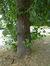 Tilleul à larges feuilles – Evere, Place Saint-Vincent –  21 Juin 2017