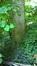Tilleul à larges feuilles – Auderghem, Jardin  Massart –  04 Juillet 2019