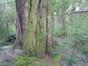 Gewone acacia – Schaarbeek, Albert de Latourstraat, 30 –  30 Maart 2012