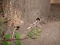 Aubépine à deux styles – Schaerbeek, Place de Jamblinne de Meux –  19 Juin 2002
