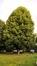 Tilleul à larges feuilles – Evere, Avenue Jules Bordet, 11 –  08 Août 2016