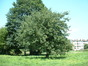 Pommier sauvage – Evere, Avenue Franz Guillaume –  17 Juin 2002