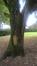 Chêne pédonculé – Evere, Rue de l'Arbre Unique –  20 Octobre 2016
