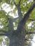 Chêne pédonculé – Evere, Avenue Constant Permeke –  20 Octobre 2016