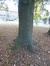 Chêne pédonculé – Evere, Avenue Constant Permeke –  28 Octobre 2016