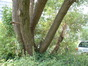 Salix sp – Evere, Rue du Kent –  18 Juin 2002
