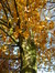 Chêne rouge d'Amérique – Evere, Avenue de l'Expressionnisme –  10 Novembre 2016