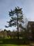 Pin de Weymouth – Watermael-Boitsfort, Parc du Couvent des Religieuses de l'Eucharistie, Avenue Léopold Wiener, 26 –  24 Février 2014