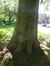 Platane à feuille d'érable – Schaerbeek, Avenue Louis Bertrand –  10 Mai 2017