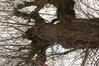 Erable à feuilles de frêne – Berchem-Sainte-Agathe, Avenue de la Basilique –  25 Juillet 2013