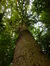 Chêne pédonculé – Watermael-Boitsfort, Avenue Léopold Wiener, 88 –  09 Octobre 2013