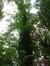Tulipier de Virginie – Watermael-Boitsfort, Avenue Léopold Wiener, 98a –  29 Juillet 2014