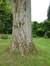 Peuplier du Canada – Watermael-Boitsfort, Cités-Jardin Le Logis et Floréal, Avenue des Dryades –  13 Juin 2014