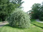 Pyrus salicifolia f. pendula