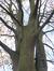 Hêtre pourpre – Watermael-Boitsfort, Parc Tenreuken, Tenreuken –  04 Novembre 2015