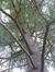Cèdre du Liban – Watermael-Boitsfort, Parc Tenreuken, Tenreuken –  04 Novembre 2015