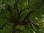 Witte paardenkastanje – Watermaal-Bosvoorde, Hondenberg, 4 –  23 Juli 2002