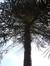 Araucaria du Chili – Watermael-Boitsfort, Cités-Jardin Le Logis et Floréal, Avenue de l'Arbalète, 20 –  13 Juin 2014