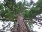 Sequoia géant – Watermael-Boitsfort, Avenue Emile Van Becelaere, 26 –  29 Juillet 2014